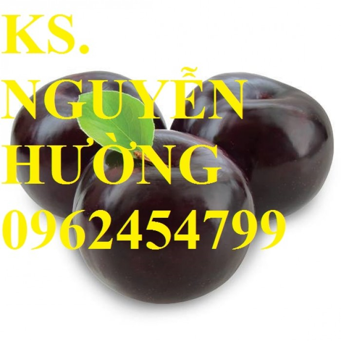 Cây giống mận đen Đài Loan, mận đen nhập khẩu. Chuẩn giống, giá tốt22