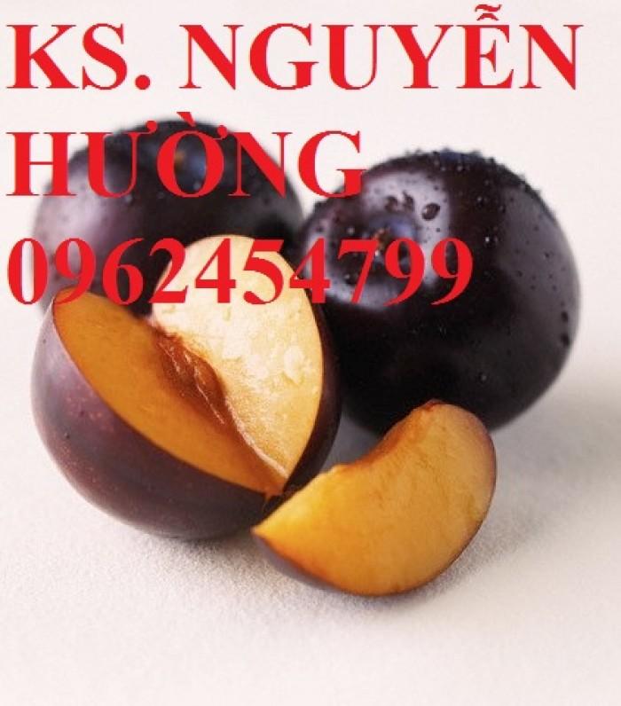 Cây giống mận đen Đài Loan, mận đen nhập khẩu. Chuẩn giống, giá tốt24