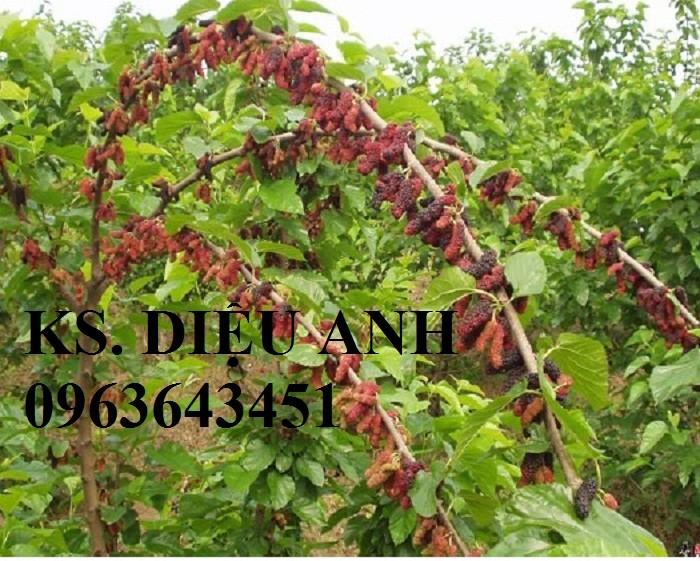 Chuyên cung cấp cây giống dâu: dâu quả dài, dâu trái dài Đài Loan2