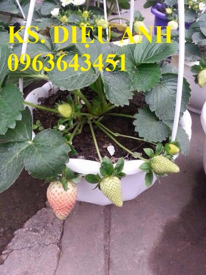Chuyên cung cấp cây giống dâu: dâu quả dài, dâu trái dài Đài Loan8