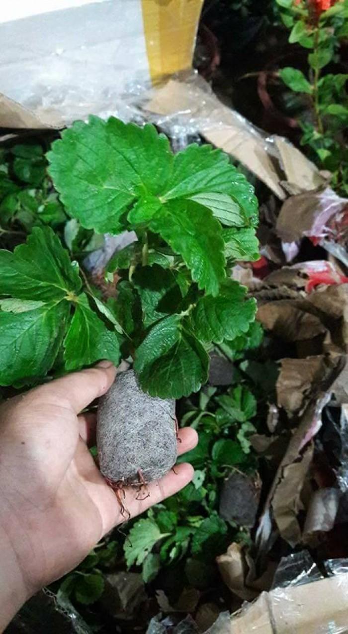 Chuyên cung cấp cây giống dâu: dâu quả dài, dâu trái dài Đài Loan13