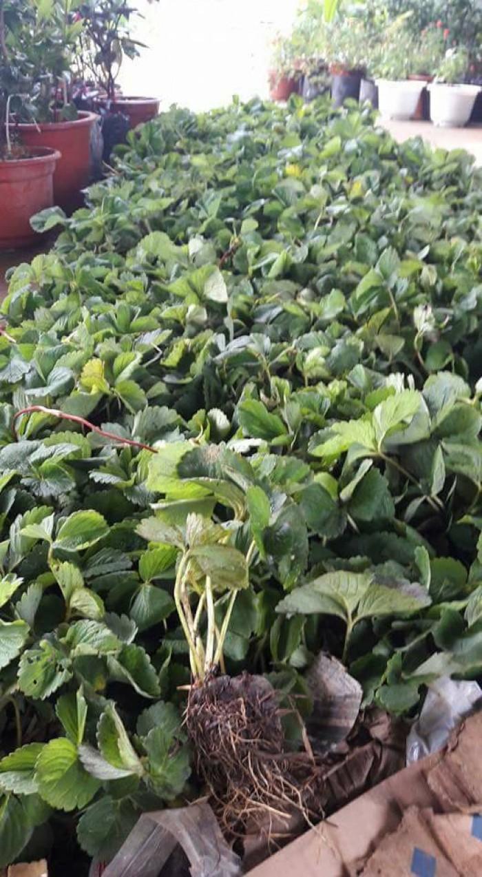 Chuyên cung cấp cây giống dâu: dâu quả dài, dâu trái dài Đài Loan14