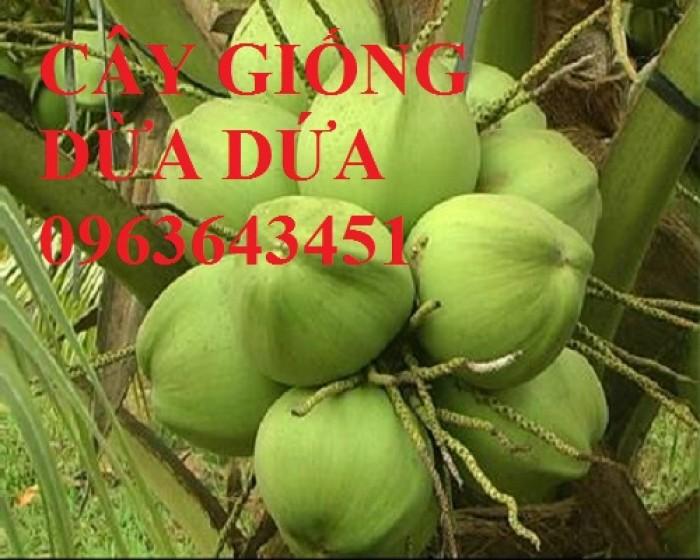 Chuyên cung cấp cây giống dừa: dừa xiêm xanh lùn, dừa xiêm dứa, dừa xiêm xanh, dừa lục, dừa đỏ, dừa lửa.9