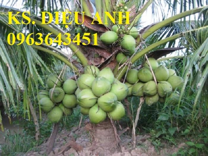 Chuyên cung cấp cây giống dừa: dừa xiêm xanh lùn, dừa xiêm dứa, dừa xiêm xanh, dừa lục, dừa đỏ, dừa lửa.11