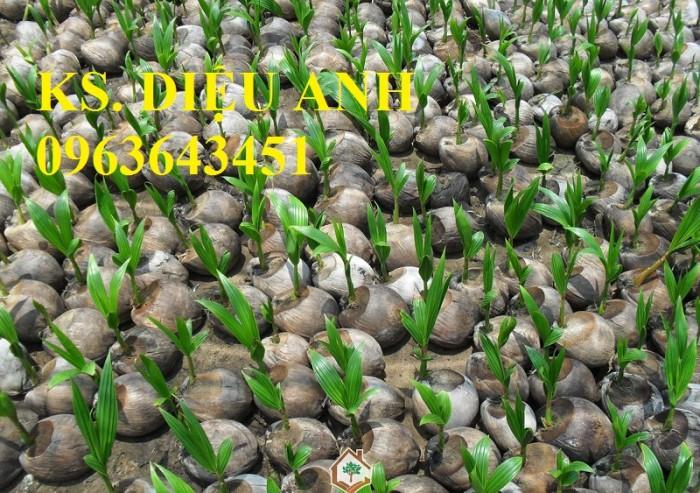 Chuyên cung cấp cây giống dừa: dừa xiêm xanh lùn, dừa xiêm dứa, dừa xiêm xanh, dừa lục, dừa đỏ, dừa lửa.13
