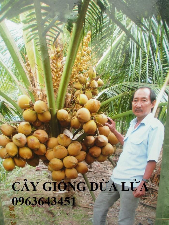 Chuyên cung cấp cây giống dừa: dừa xiêm xanh lùn, dừa xiêm dứa, dừa xiêm xanh, dừa lục, dừa đỏ, dừa lửa.14
