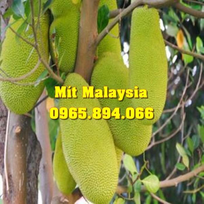 Mít Malaysia, Mít Trái Dài, Mít Cao Sản - Học Viện Nông Nghiệp6