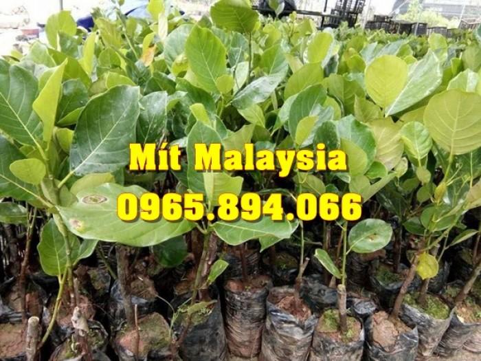 Mít Malaysia, Mít Trái Dài, Mít Cao Sản - Học Viện Nông Nghiệp4