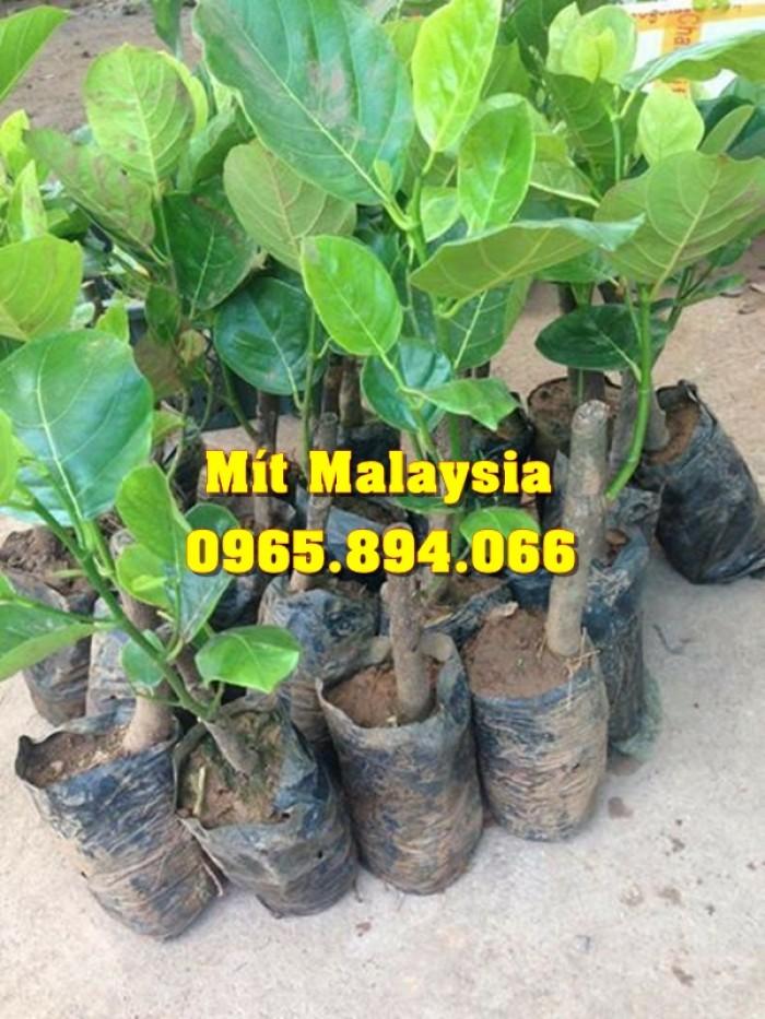 Mít Malaysia, Mít Trái Dài, Mít Cao Sản - Học Viện Nông Nghiệp3