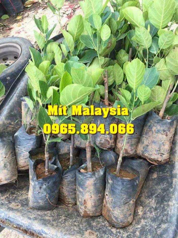 Mít Malaysia, Mít Trái Dài, Mít Cao Sản - Học Viện Nông Nghiệp0