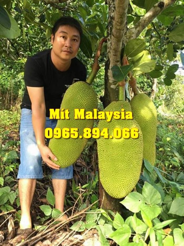 Mít Malaysia, Mít Trái Dài, Mít Cao Sản - Học Viện Nông Nghiệp1