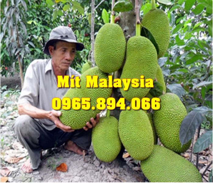 Mít Malaysia, Mít Trái Dài, Mít Cao Sản - Học Viện Nông Nghiệp5