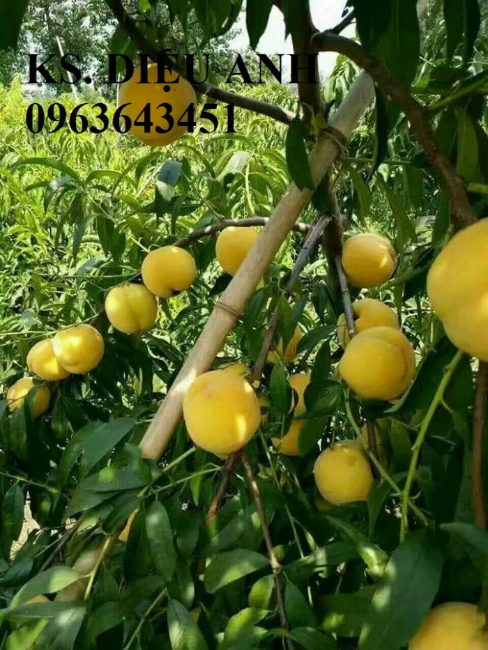 Chuyên cung cấp cây giống đào ăn quả, đào bát tiên, đào đỏ, đào quả đỏ nhập khẩu, uy tín1