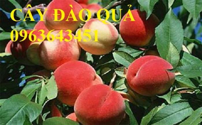Chuyên cung cấp cây giống đào ăn quả, đào bát tiên, đào đỏ, đào quả đỏ nhập khẩu, uy tín5