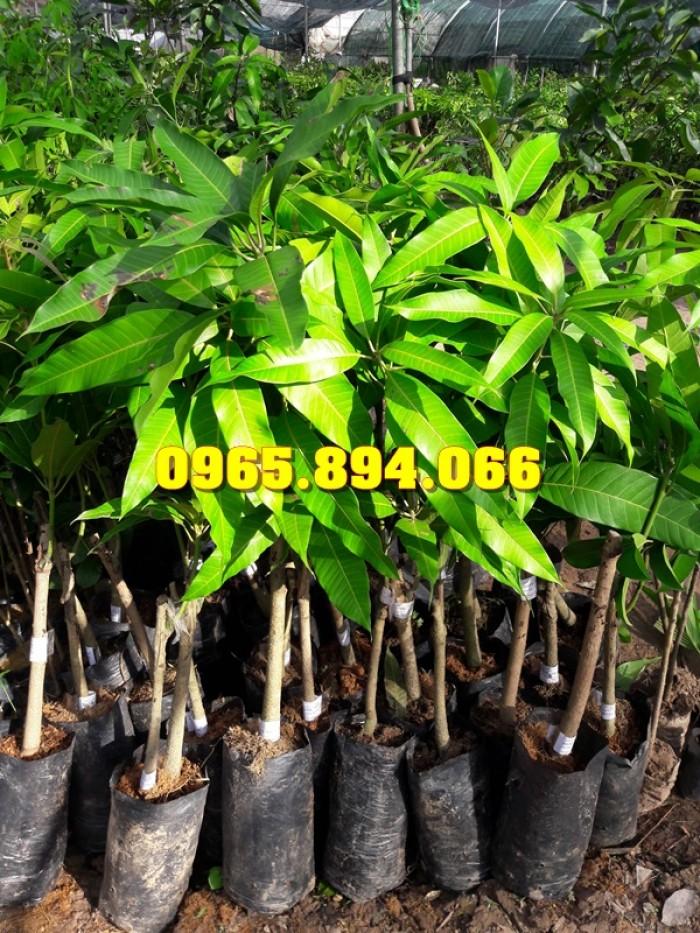 Giống cây Xoài Thái, Xoài Đài Loan, Xoài Thái Xanh, Xoài Tím Malaysia2