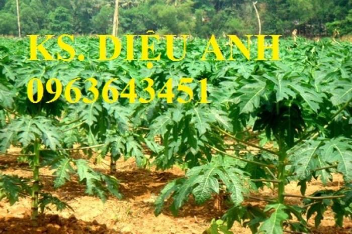 Địa chỉ cung cấp cây giống, hạt giống đu đủ hồng phi Đài Loan