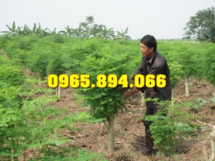 Giống cây Chùm Ngây, Đu Đủ Đài Loan, Xoan Đào, Đu Đủ Ăn Lá, Xoan Đào9