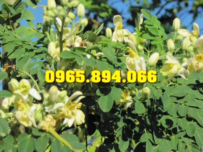 Giống cây Chùm Ngây, Đu Đủ Đài Loan, Xoan Đào, Đu Đủ Ăn Lá, Xoan Đào8