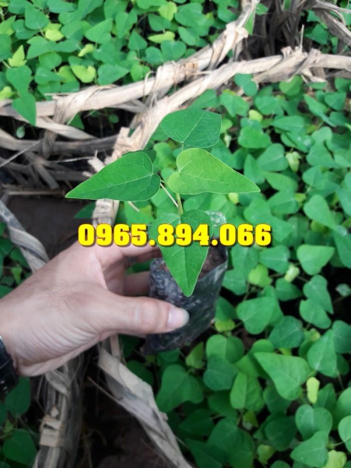 Giống cây Chùm Ngây, Đu Đủ Đài Loan, Xoan Đào, Đu Đủ Ăn Lá, Xoan Đào4