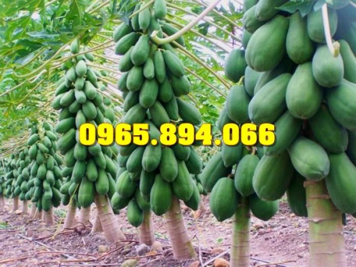 Giống cây Chùm Ngây, Đu Đủ Đài Loan, Xoan Đào, Đu Đủ Ăn Lá, Xoan Đào5