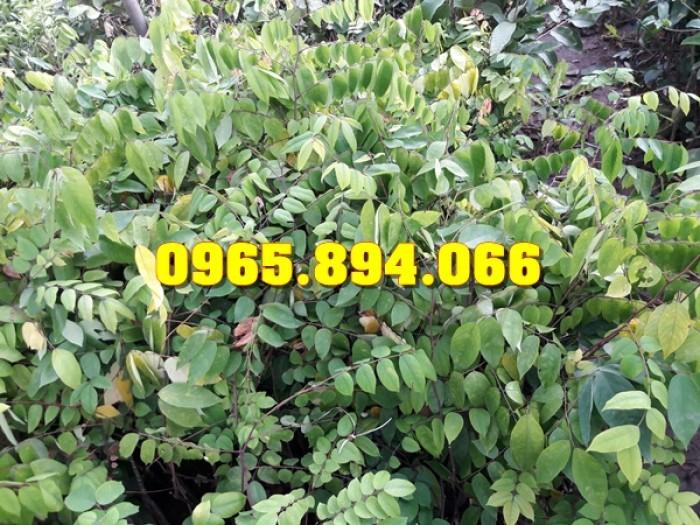 Giống cây Chùm Ngây, Đu Đủ Đài Loan, Xoan Đào, Đu Đủ Ăn Lá, Xoan Đào3