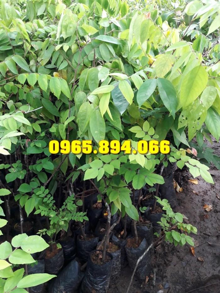 Giống cây Chùm Ngây, Đu Đủ Đài Loan, Xoan Đào, Đu Đủ Ăn Lá, Xoan Đào2