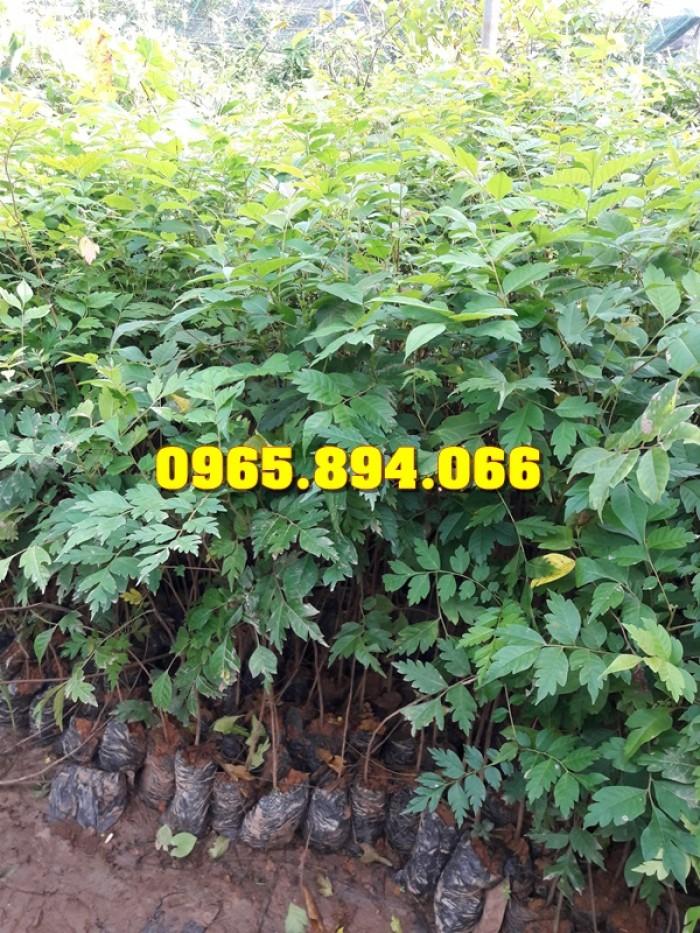 Giống cây Chùm Ngây, Đu Đủ Đài Loan, Xoan Đào, Đu Đủ Ăn Lá, Xoan Đào1