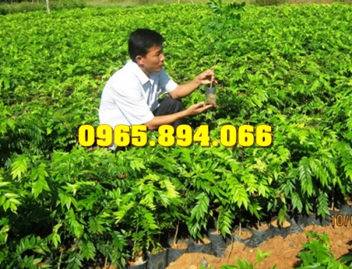 Cung cấp, bán giống cây Sưa Đỏ, Sưa Trắng, Cây Đào Tiên, Giống Nhót Ngọt10