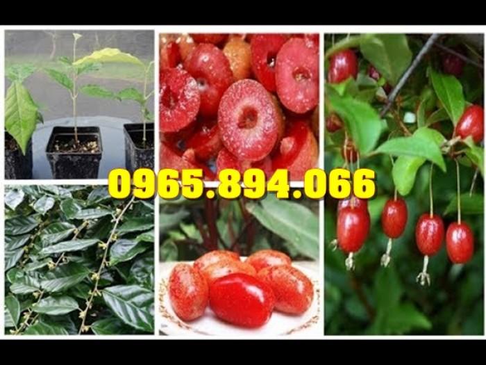 Cung cấp, bán giống cây Sưa Đỏ, Sưa Trắng, Cây Đào Tiên, Giống Nhót Ngọt1