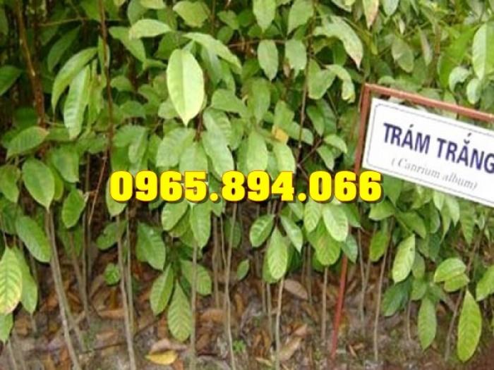 Bán giống Trám Đen, Trám Trắng - Trung Tâm Nông Nghiệp Công Nghệ Cao - Học Viện Nông Nghiệp Việt Nam5