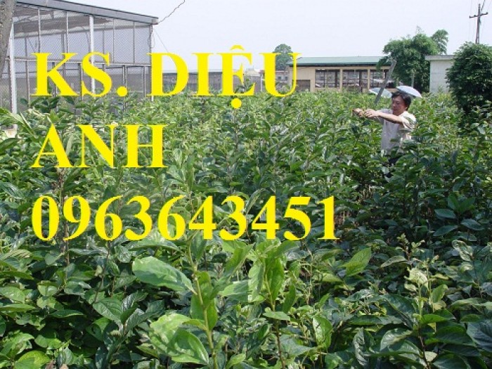 Địa chỉ bán cây giống hồng giòn Nhật Bản Fuyu, hồng không hạt, hồng nhân hậu, hồng bảo lâm chuẩn, uy tín4