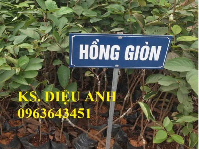 Địa chỉ bán cây giống hồng giòn Nhật Bản Fuyu, hồng không hạt, hồng nhân hậu, hồng bảo lâm chuẩn, uy tín6