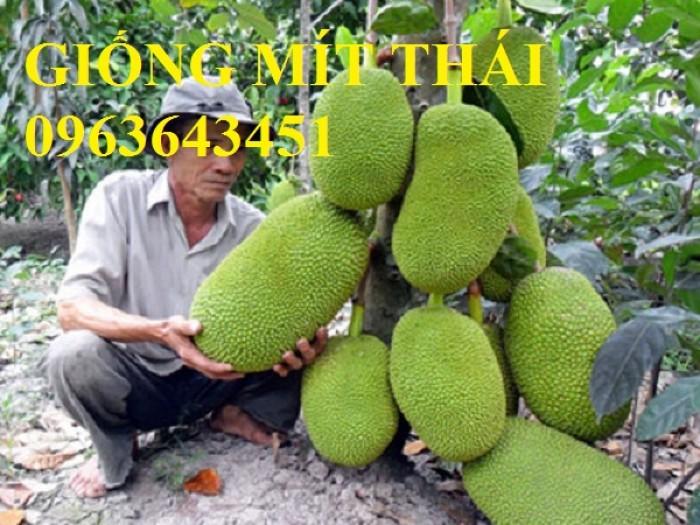Địa chỉ bán cây giống mít Thái siêu sớm tứ quý, mít changai da xanh, mít  lá bàng, mít tứ quý chuẩn, uy tín7
