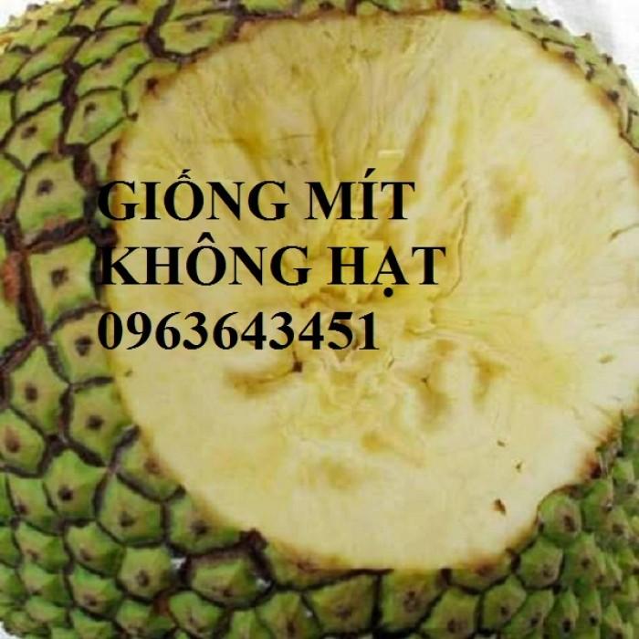Địa chỉ cung cấp cây giống mít không hạt, mít Thái, mít hạt lép chuẩn, uy tín, chất lượng2
