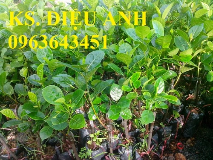 Địa chỉ cung cấp cây giống mít không hạt, mít Thái, mít hạt lép chuẩn, uy tín, chất lượng7