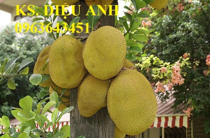 Địa chỉ cung cấp cây giống mít không hạt, mít Thái, mít hạt lép chuẩn, uy tín, chất lượng9
