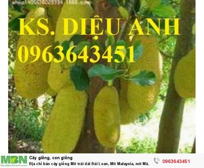 Địa chỉ bán cây giống Mít trái dài Đài Loan, Mít Malaysia, mít Mã Lai1