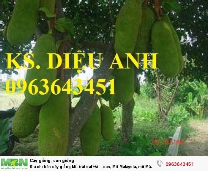 Địa chỉ bán cây giống Mít trái dài Đài Loan, Mít Malaysia, mít Mã Lai2