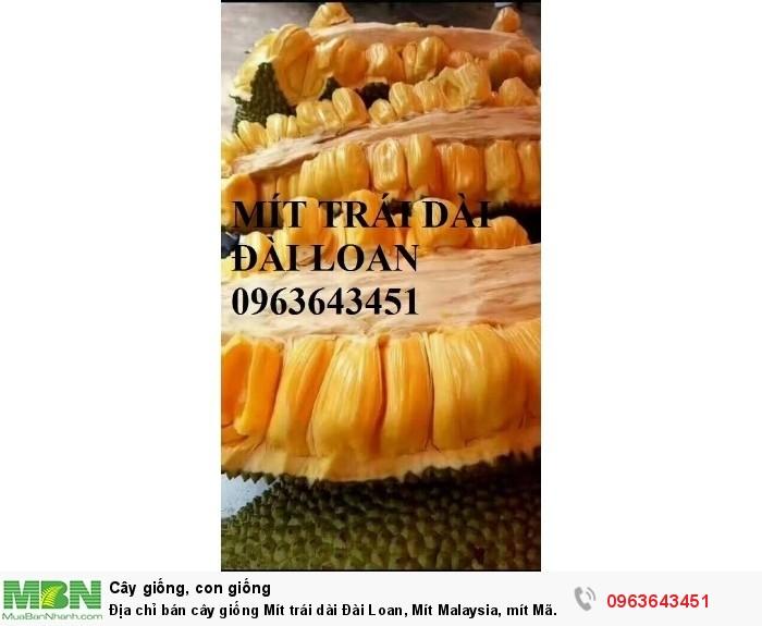 Địa chỉ bán cây giống Mít trái dài Đài Loan, Mít Malaysia, mít Mã Lai3