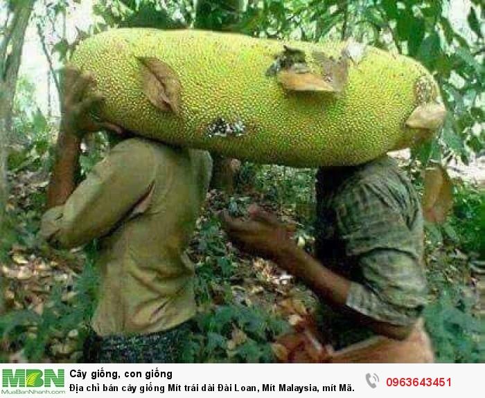 Địa chỉ bán cây giống Mít trái dài Đài Loan, Mít Malaysia, mít Mã Lai4