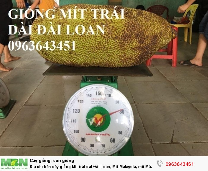 Địa chỉ bán cây giống Mít trái dài Đài Loan, Mít Malaysia, mít Mã Lai5