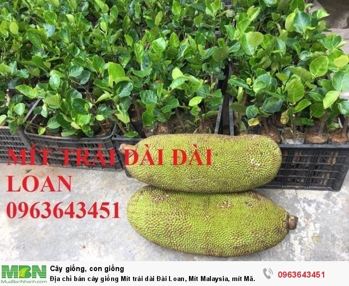 Địa chỉ bán cây giống Mít trái dài Đài Loan, Mít Malaysia, mít Mã Lai6