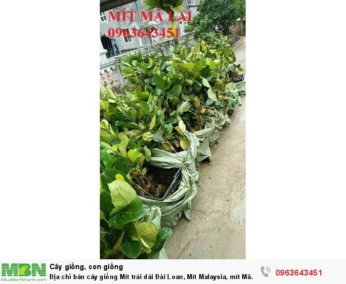Địa chỉ bán cây giống Mít trái dài Đài Loan, Mít Malaysia, mít Mã Lai8