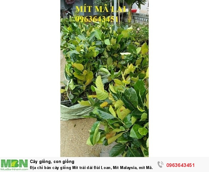 Địa chỉ bán cây giống Mít trái dài Đài Loan, Mít Malaysia, mít Mã Lai9