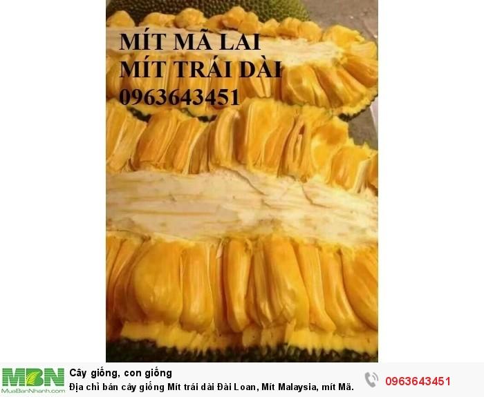 Địa chỉ bán cây giống Mít trái dài Đài Loan, Mít Malaysia, mít Mã Lai11