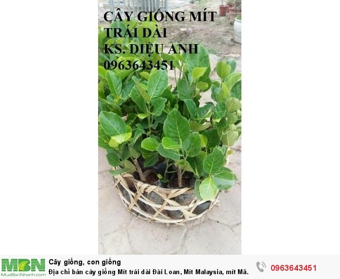 Địa chỉ bán cây giống Mít trái dài Đài Loan, Mít Malaysia, mít Mã Lai12