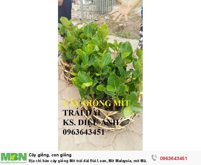 Địa chỉ bán cây giống Mít trái dài Đài Loan, Mít Malaysia, mít Mã Lai13