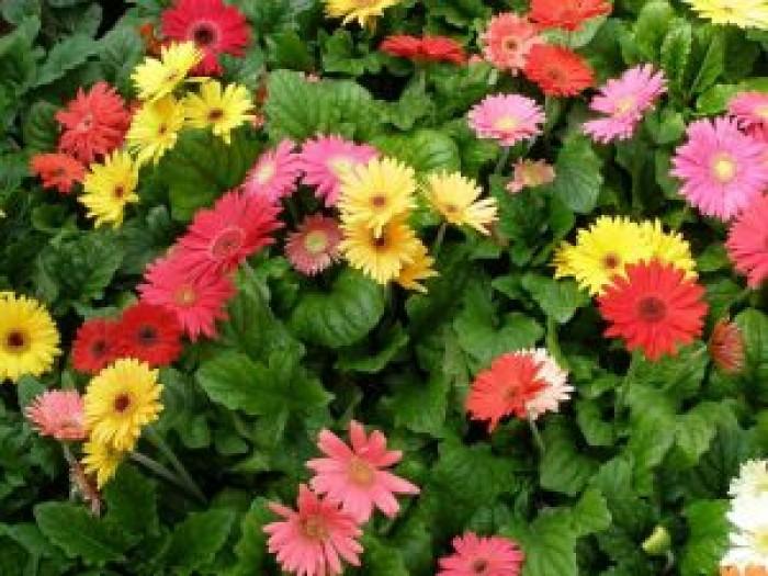 Chuyên cung cấp sỉ lẻ các loại hoa đồng tiền chất lượng giá rẻ nhất13
