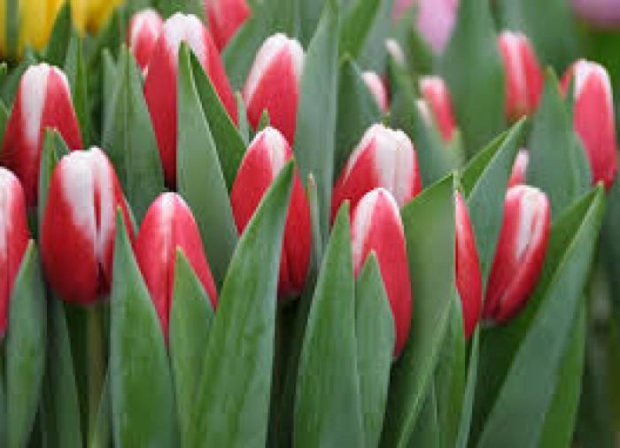 cung cấp cây hoa giống, củ hoa giống,Hoa giống Tết5