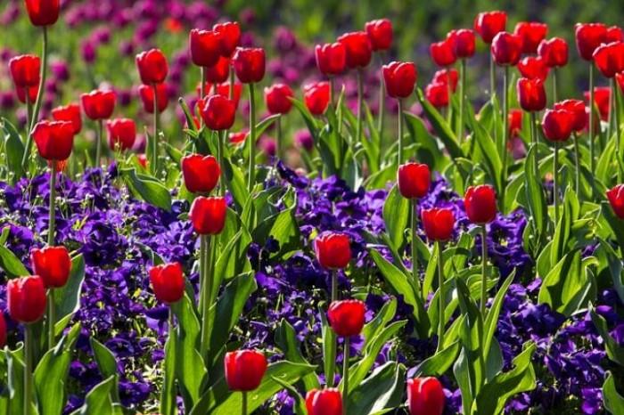 cung cấp cây hoa giống, củ hoa giống,Hoa giống Tết1